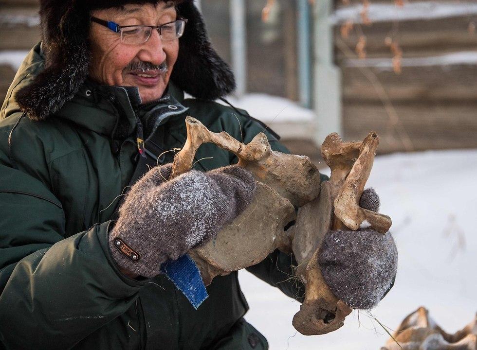 שנהב של ממותה במעבדה ב יקוטיה סיביר רוסיה (צילום: AFP)