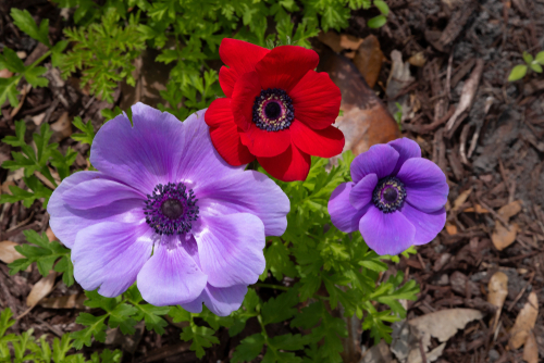 """Помимо клубники, в """"Садот"""" можно собирать и анемоны. Фото: shutterstock"""