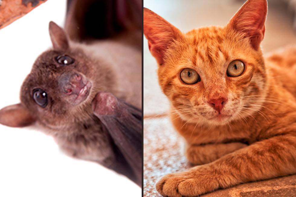 חתול רחוב ועטלף פירות (צילום: shutterstock)