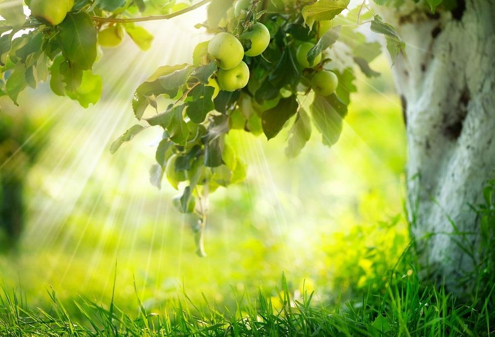 עץ תפוח (צילום: shutterstock)