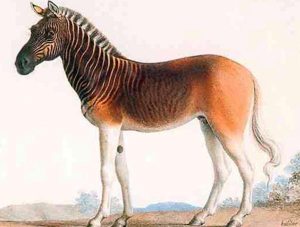 זברה בעלת פסים רק בחלקה הקדמי, שנכחדה ב-1883. איור של קוואגה  (צילום: מתוך ויקיפדיה)