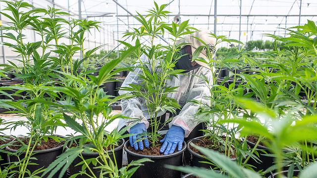 The BOL Pharma  medical cannabis farm (file photo) (Photo: EPA)