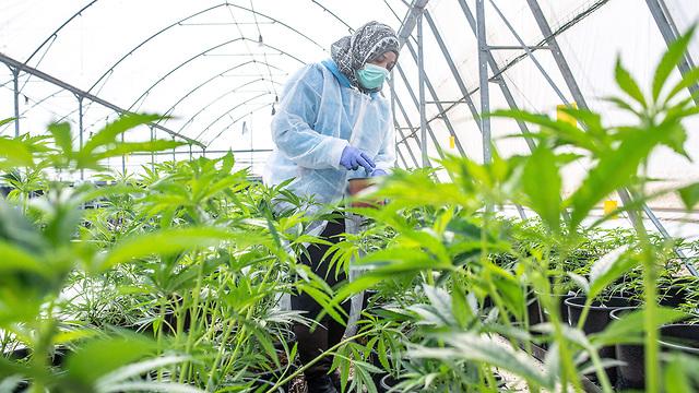 A greenhouse growing cannabis on Kibbutz Revadim (Photo: EPA)  (Photo: EPA)