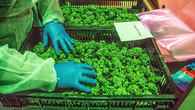 Marijuana greenhouse in BOL Pharma, among the world's largest medical cannabis suppliers  (Photo: EPA)