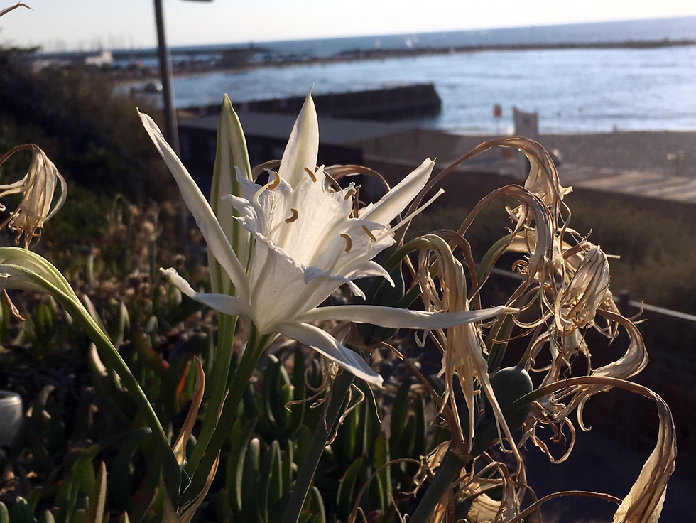 חבצלת החוף בשולי גן העצמאות (צילום: גלעד כרמלי)