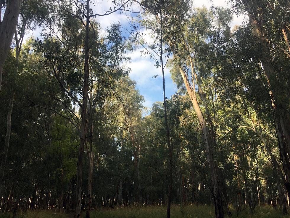 יער ראש ציפור (צילום: גלעד כרמלי)