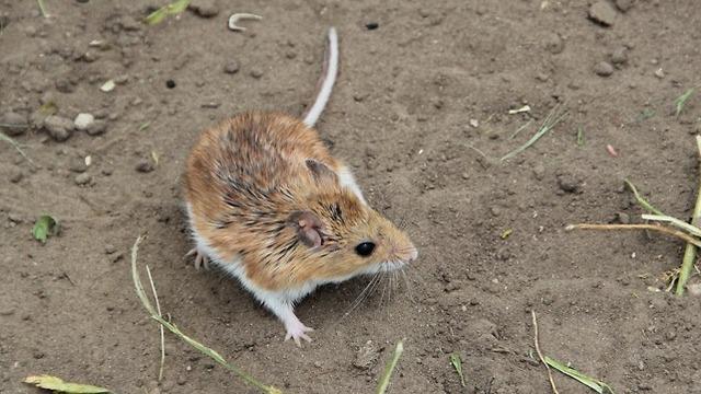 עכבר שהשתתף בניסוי (צילום: רואן בארט, אוניברסטת הארוורד)