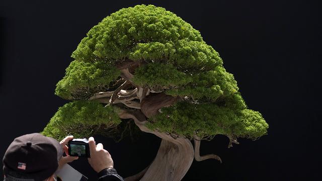 יפן עצי בונסאי עץ בונסאי גניבה (צילום: AFP)