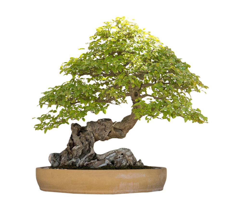 יפן עצי בונסאי עץ בונסאי גניבה (צילום: shutterstock)