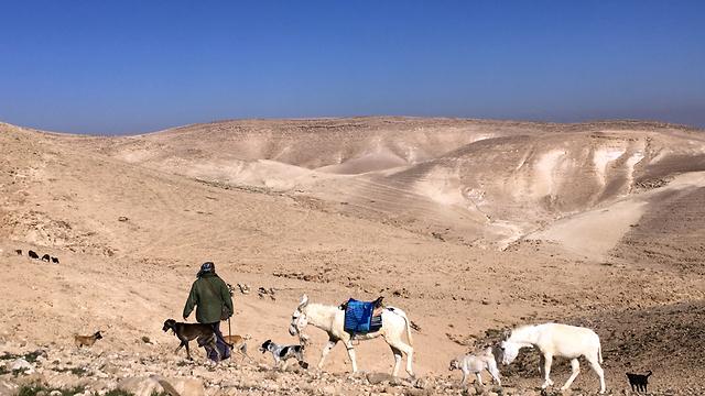 בדואי במדבר יהודה (צילום: גלעד כרמלי)
