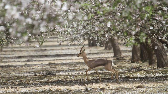 פריחת השקדיה ביער יתיר (צילום: נווה גנוד)
