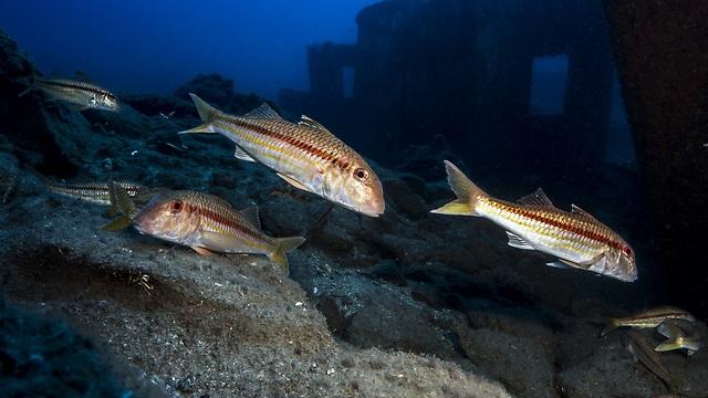 דגים בים התיכון (צילום: שבי רוטמן)