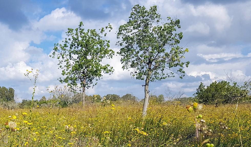 חורשת דרזנר (צילום: סטלה פז)