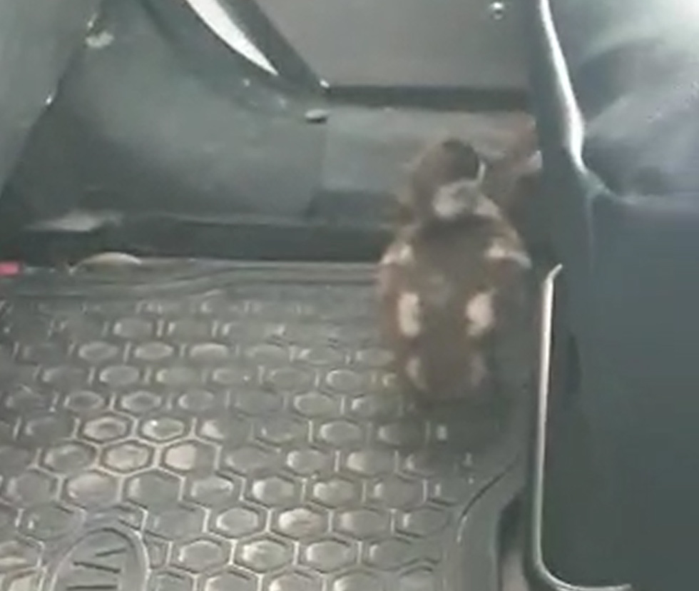 Goose chicks on their way to safety (Photo: Police Spokesperson)