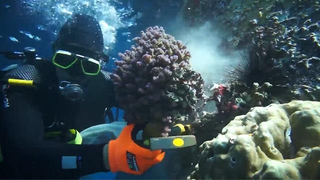 מצילים את האלמוגים (צילום: עומרי עומסי, רשות הטבע והגנים)