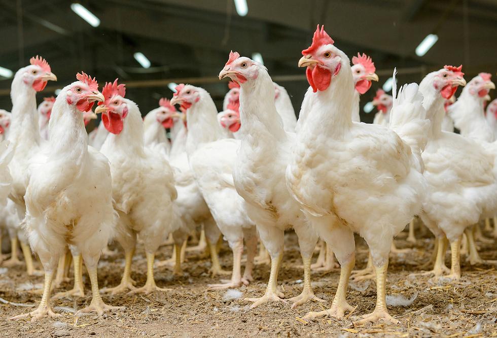 תרנגולות (אילוסטרציה: Shutterstock)