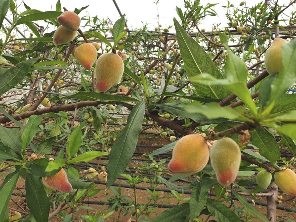 Ранние персики. Фото: пресс-служба