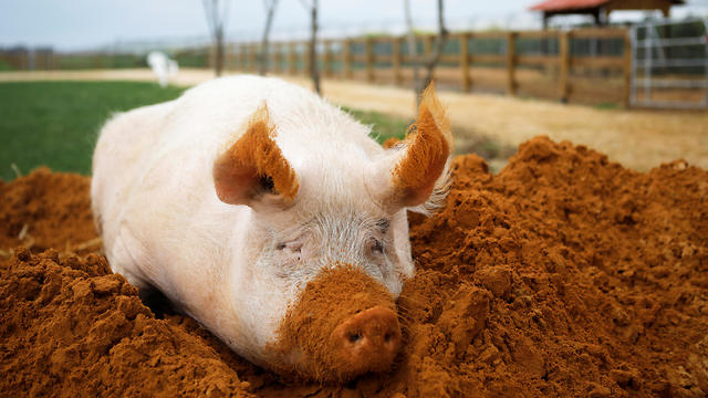 Yossi the pig sits in soil at the Freedom Farm  (Photo: Reuters)