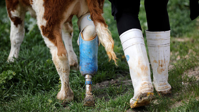 A volunteer walks with Nir the cow with a prosthetic leg at Freedom Farm  (Photo: Reuters)