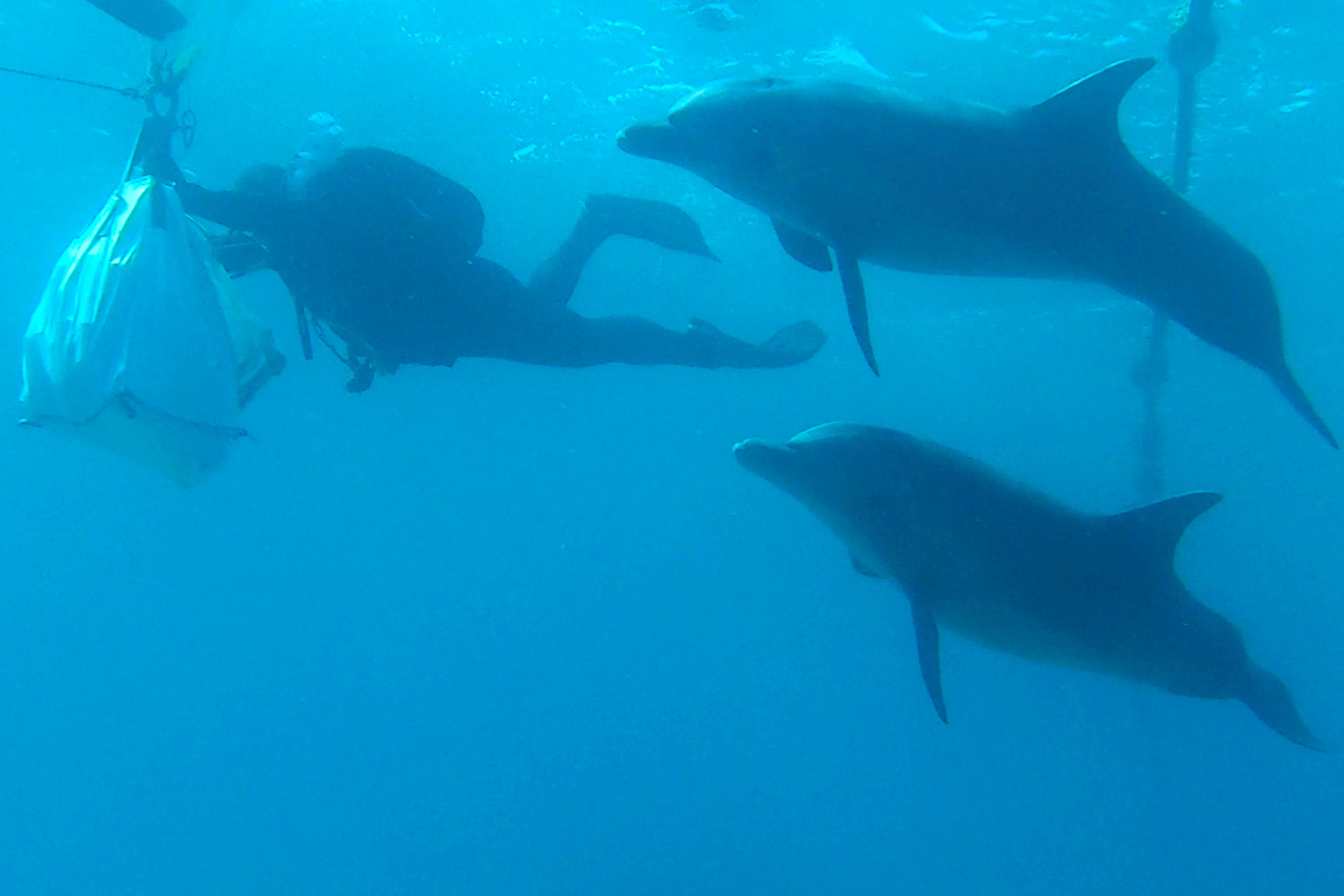 Dolphins observe the coral relocation process