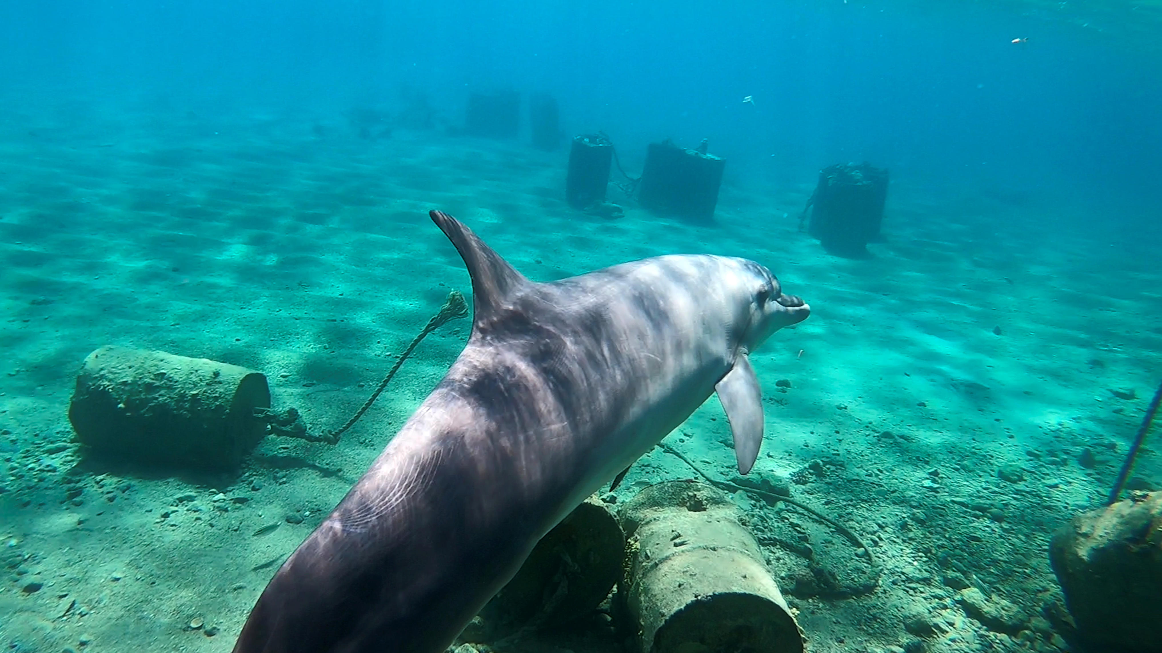A dolphin swims among the corals at the reef in Eilat