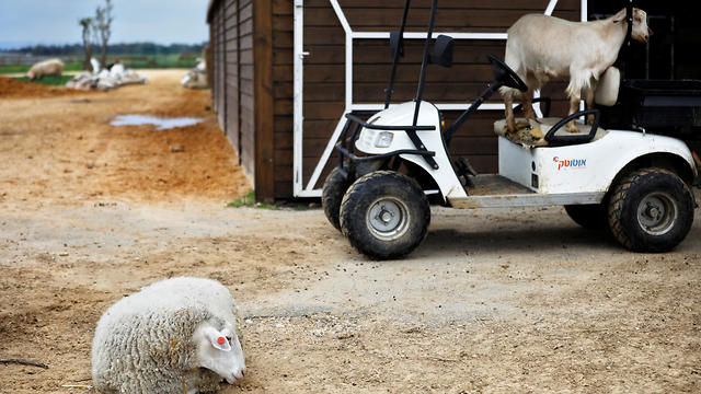 A sheep and a goat at the Freedom Farm