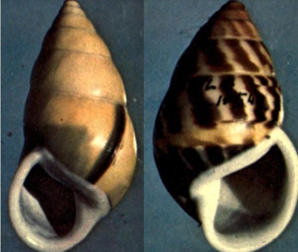ם אצל החלזונות יש רוב מוחץ לימין - כ-90 אחוז מהמינים הם בעלי קונכיה ימנית, לא שמאלית  (צילום: ויקיפדיה)