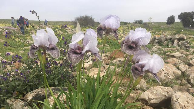 Irises in bloom on the Golan Heights