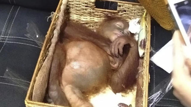 A 2-year-old orangutan that was drugged in an attempt to smuggle it out of Bali