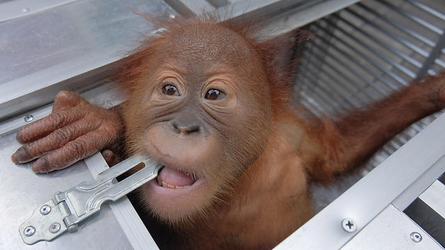A 2-year-old orangutan looks out of a cage after being confiscated in Denpasar, Bali
