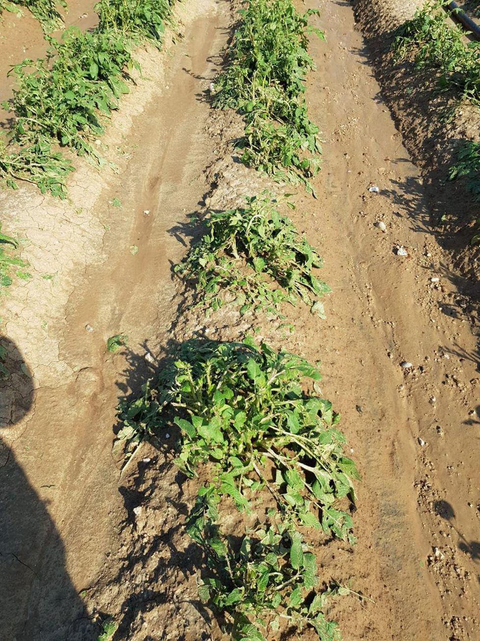 שדה תפוח אדמה אשר נפגע בעוטף עזה ()