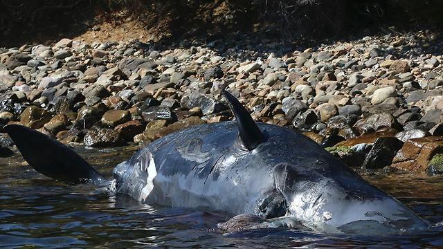 פגר נקבת הלווייתן (צילום: SEAME סרדיניה)
