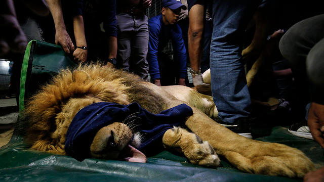 """Members of the international animal welfare charity """"Four Paws"""" check on a sedated lion at a zoo in Rafah, in the southern Gaza Strip, on April 6, 2019, as they prepare to evacuate the animals"""