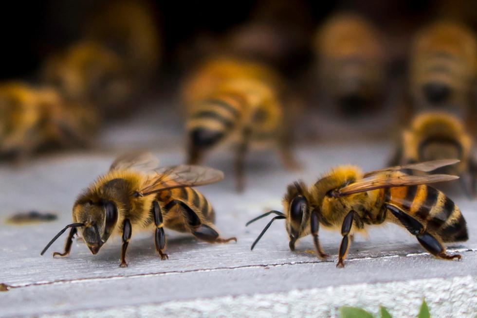 דבורים (צילום: shutterstock)
