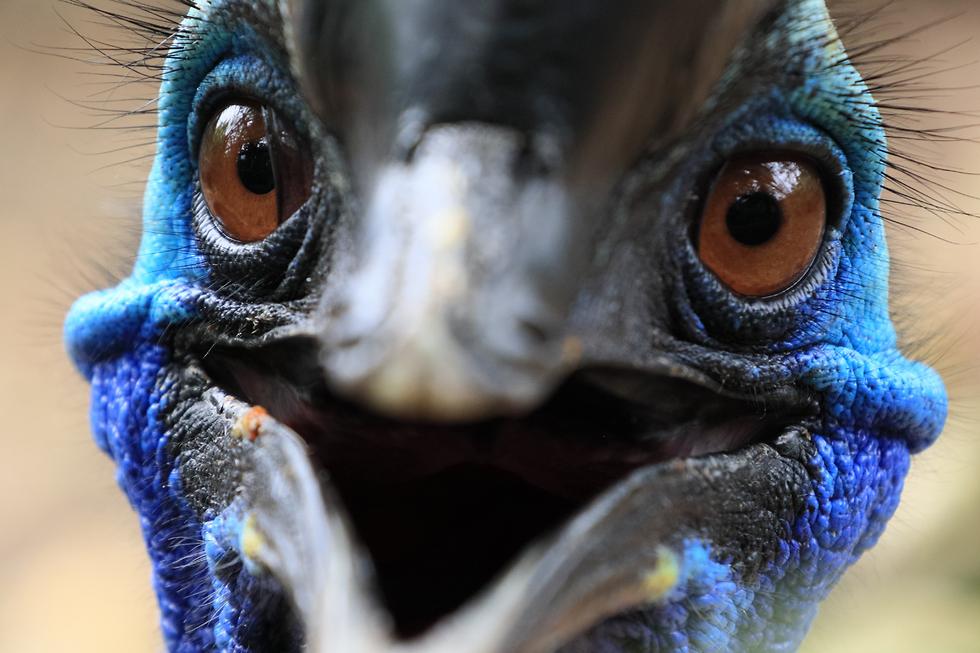 אילוס אילוסטרציה עוף קזואר  (צילום: shutterstock)