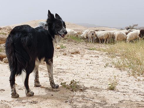 חוויה חד־פעמית. עם כלבי הרעייה של עדי אתרוג במושב צופר (צילום: צביקה בורג)