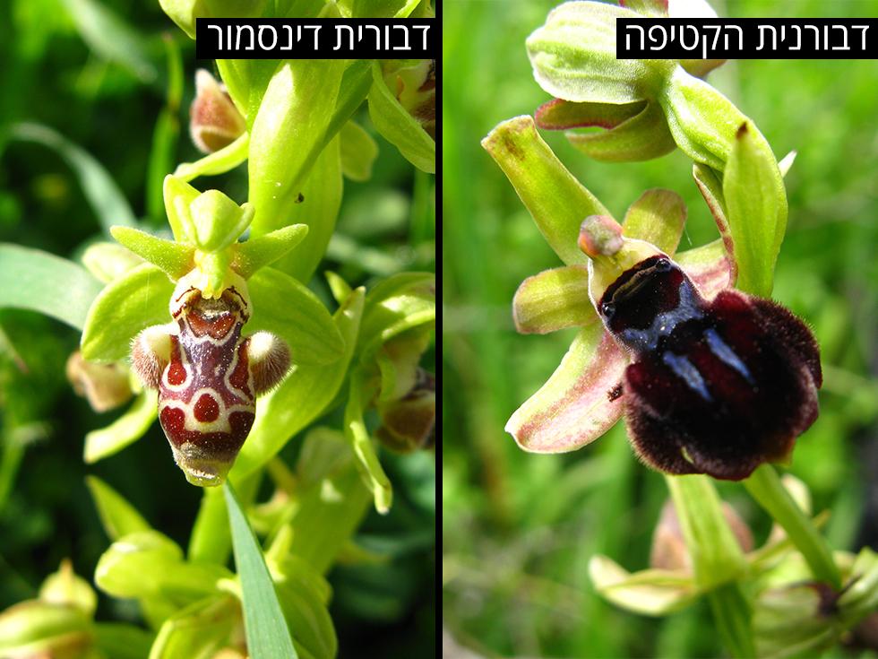 דבורנית הקטיפה   דבורית דינסמור (צילום: אריאל קדם, רשות הטבע והגנים)