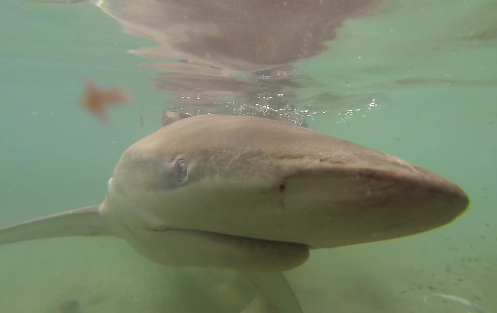 כרישה עפרורית (צילום: אלי טמים, רשות הטבע והגנים)