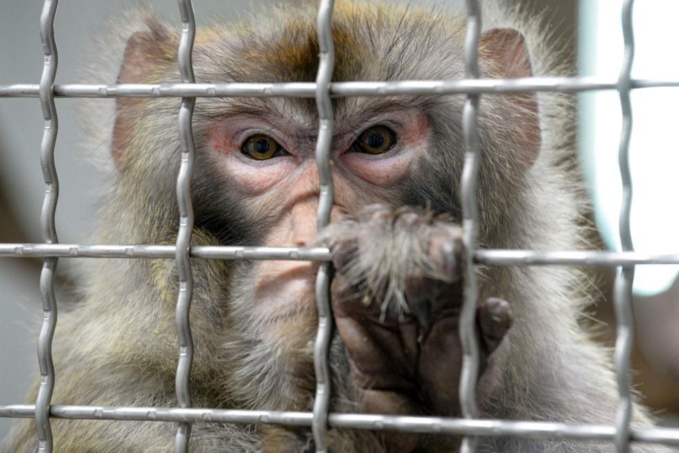 קוף מקוק רזוס בכלוב (צילום: shutterstock)