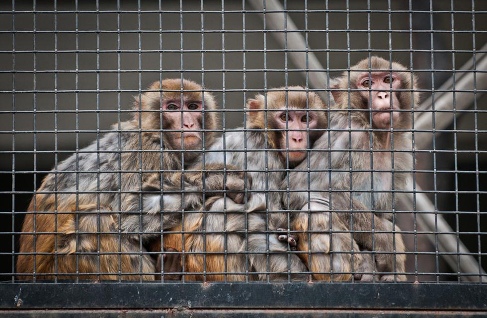 קופי מקוק רזוס בכלוב (צילום: shutterstock)