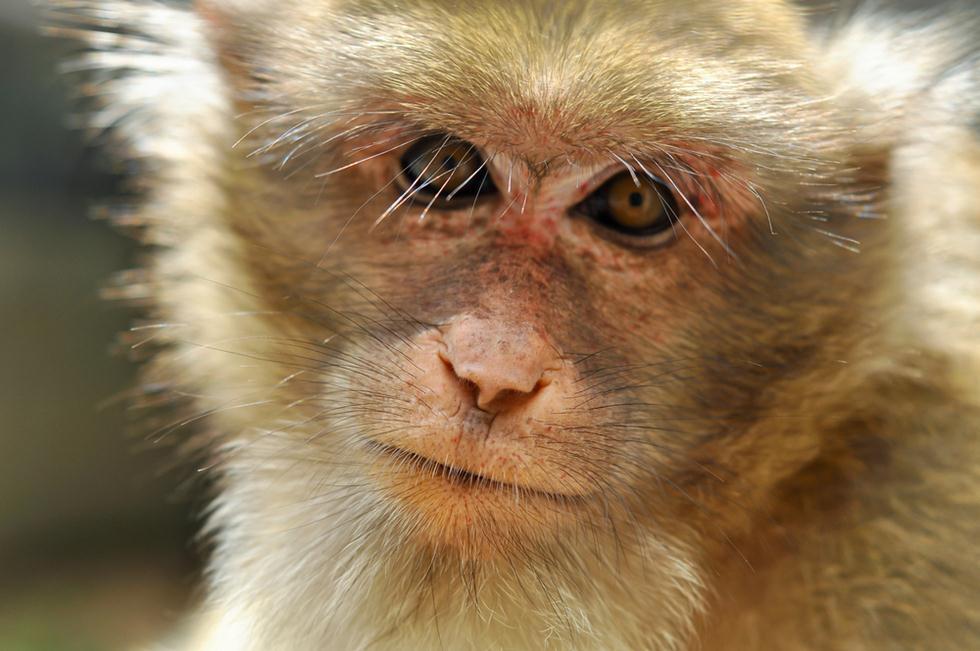 קוף מקוק רזוס (צילום: shutterstock)