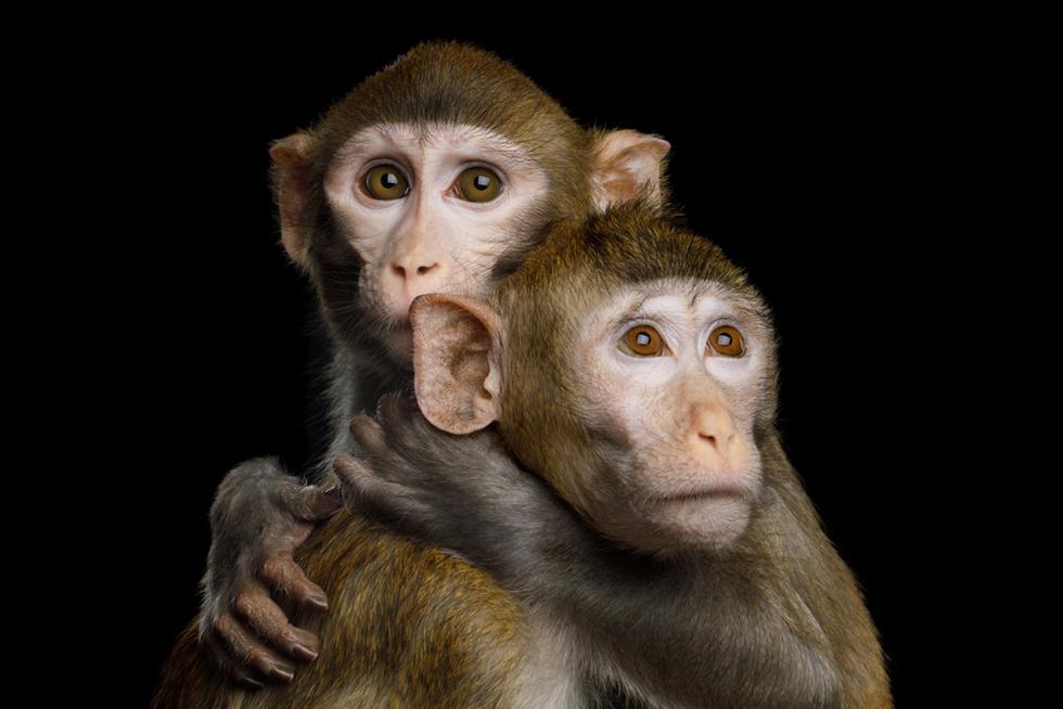 קופי מקוק רזוס (צילום: shutterstock)