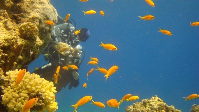 צוללן ופזיות בחוף האלמוגים (צילום: חפי רוקח)