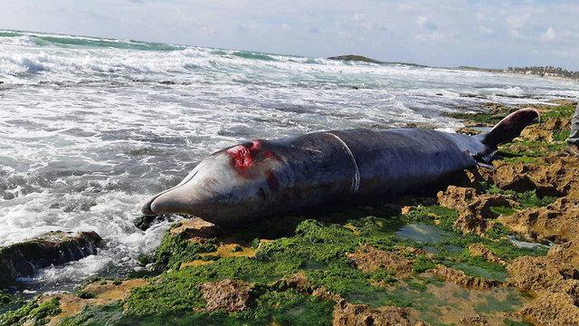 לוויתן מת נפלט לחוף דור (צילום: ברק ברכיאל, רשות הטבע והגנים)