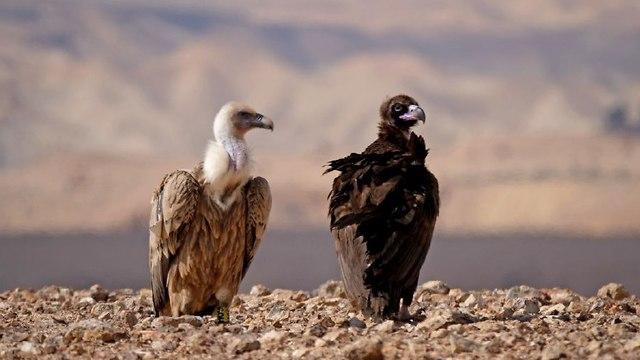 קבוצת נשרים בדרום (צילום: יובל דקס)