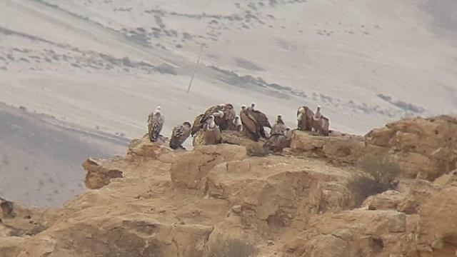 קבוצת נשרים בדרום (צילום: אשר פרץ, רשות הטבע והגנים)
