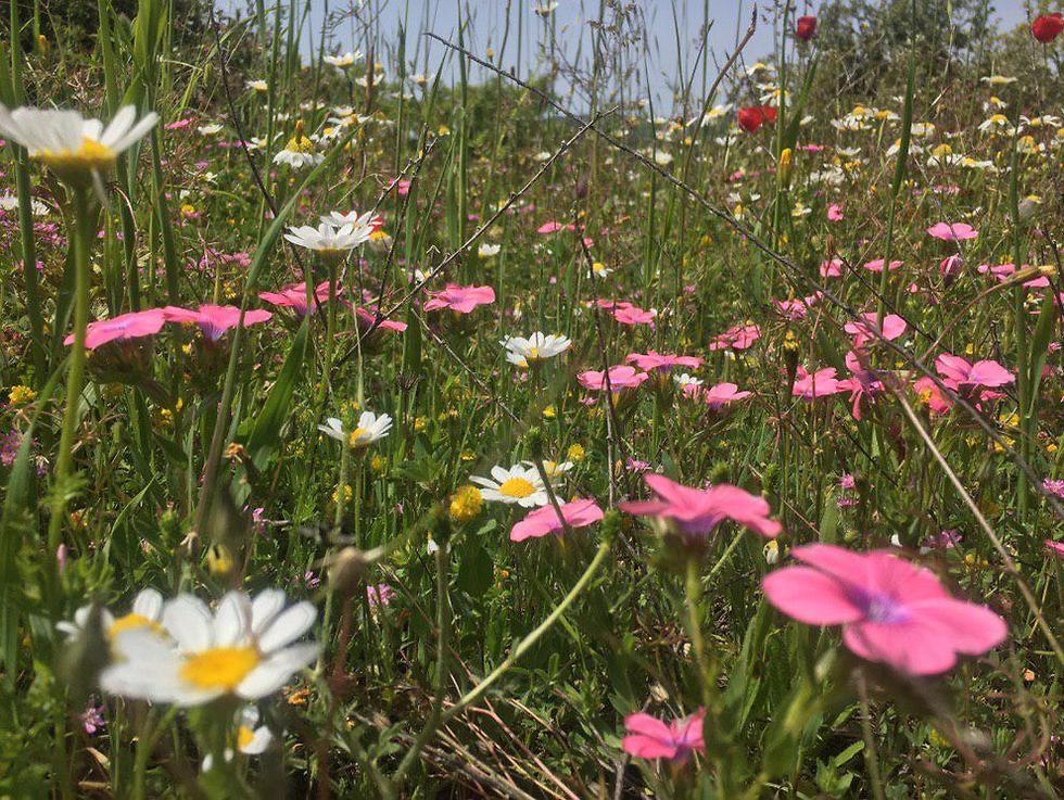 פריחה עונתית בהר הלל (צילום: גלעד כרמלי)