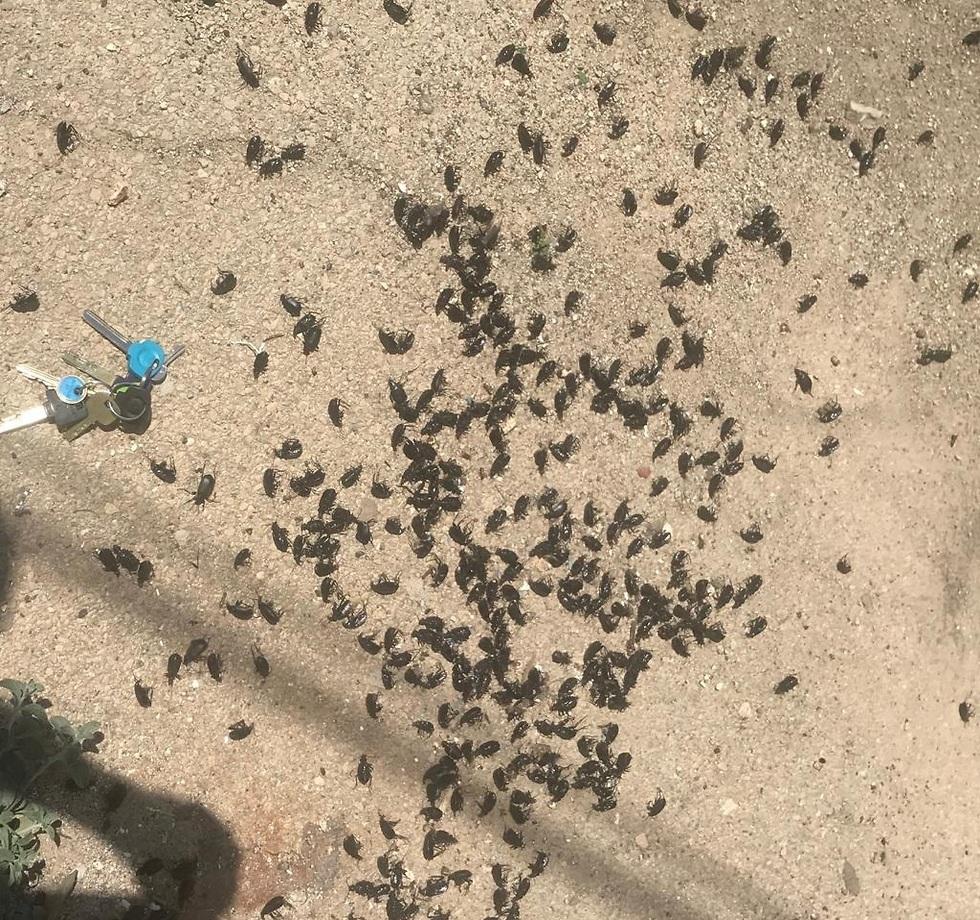 חיפושיות מסוג
