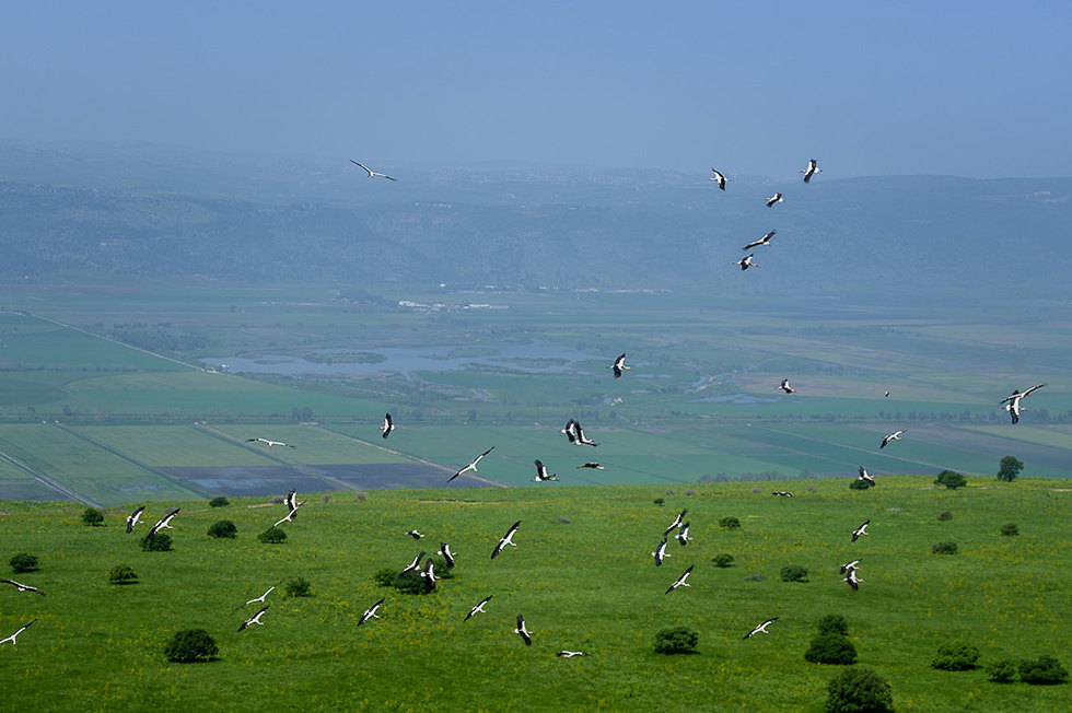 Storks fly over Agamon Hula in the Galilee