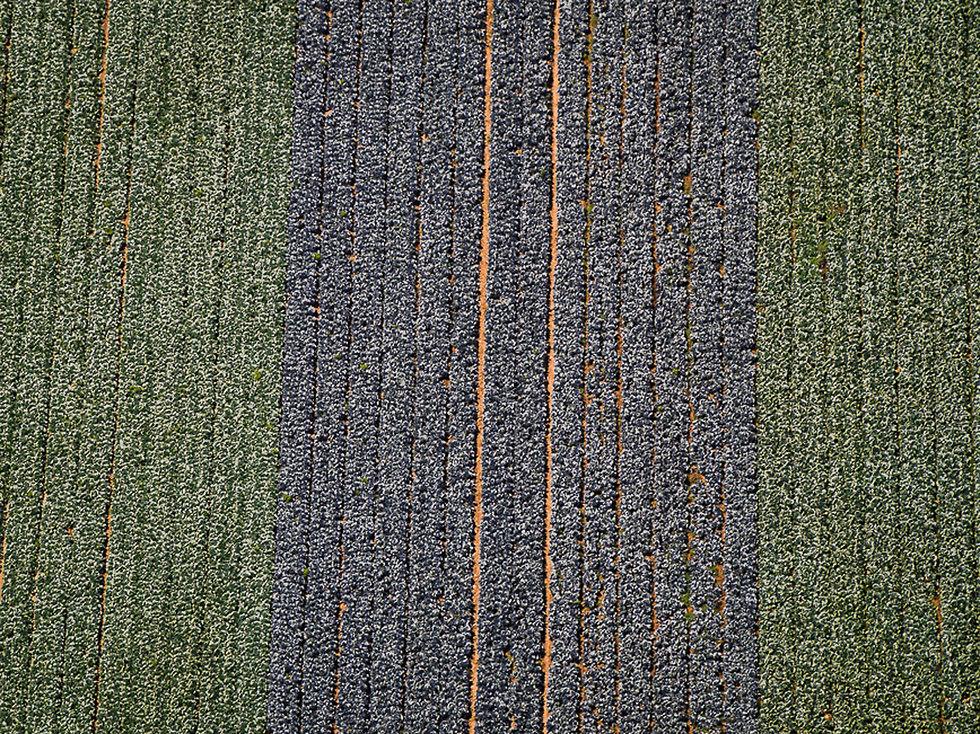 שדה כרובים  בנגב  (צילום: ישראל ברדוגו)